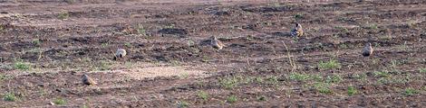 Pluviers Guignards en migration via la plaine de Boneffe