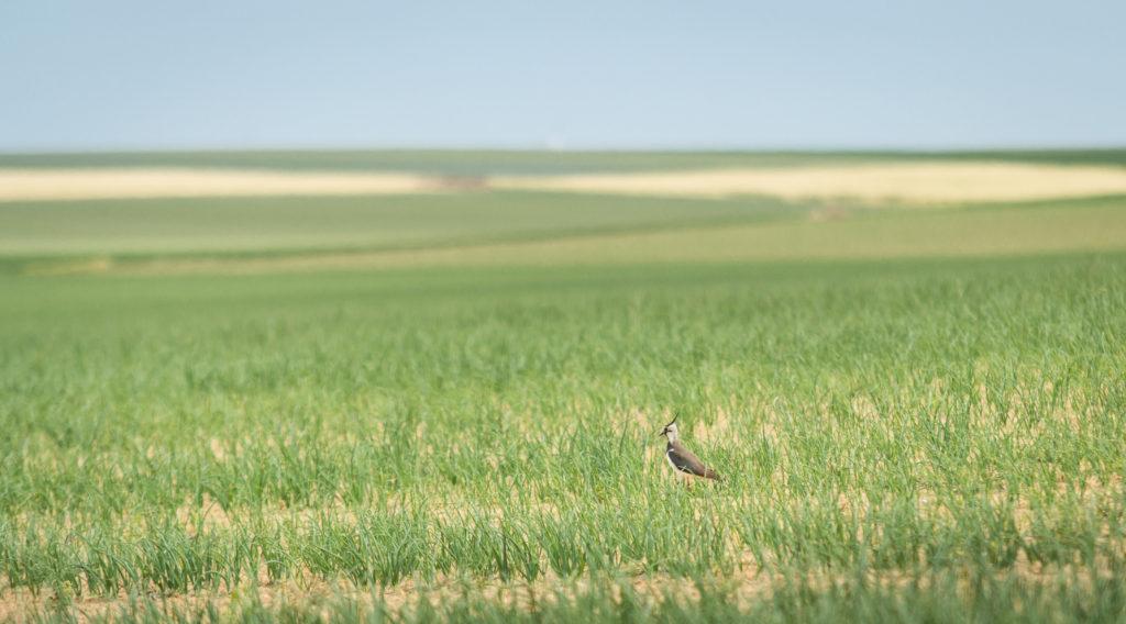Vanneau huppé dans la Plaine de Boneffe (Photo de Fabienne Nicolas)